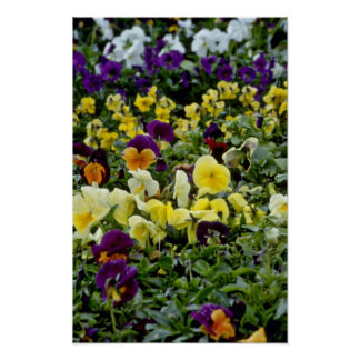 Multi-Colored Pansies flowers Poster