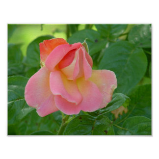 Multi-colored Pink Rose Print