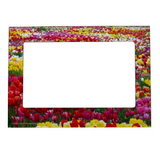 Multi-Colored Tulips-3 Magnetic Photo Frames