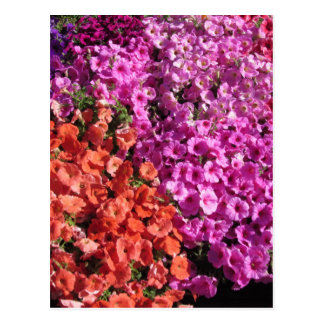 Multicolored petunia flowers texture background postcard