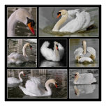 Multiple photos mosaic of mute swans poster