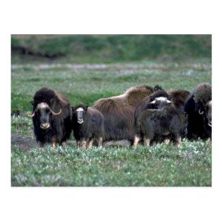Musk Oxen herd on tundra Postcard