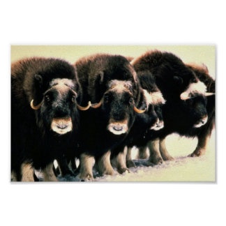 Musk Oxen Poster
