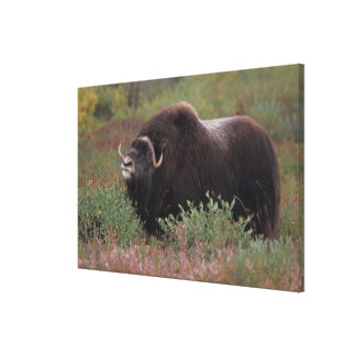 muskox bull scents the air in fall tundra, North Gallery Wrap Canvas