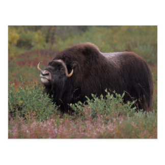 muskox bull scents the air in fall tundra, North Postcard