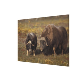 muskox, Ovibos moschatus, bull and cow on the Gallery Wrapped Canvas