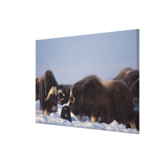 muskox, Ovibos moschatus, bull and cow with Gallery Wrapped Canvas
