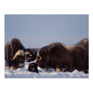 muskox, Ovibos moschatus, bull and cow with Postcard