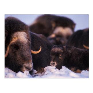 muskox, Ovibos moschatus, cow with newborn, Postcard
