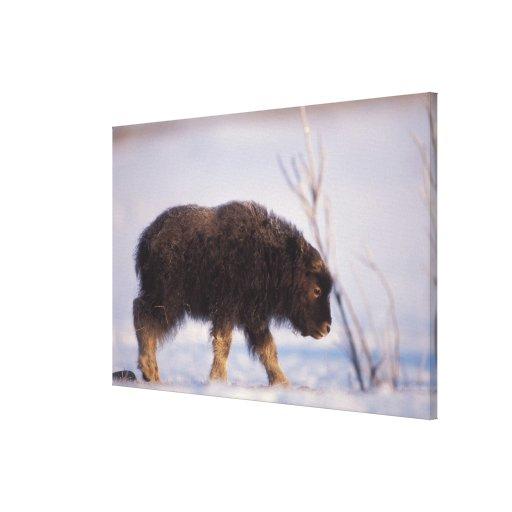 muskox, Ovibos moschatus, newborn calf on the Gallery Wrapped Canvas
