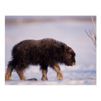 muskox, Ovibos moschatus, newborn calf walking Postcard