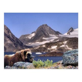 Muskus in Greenland Postcard