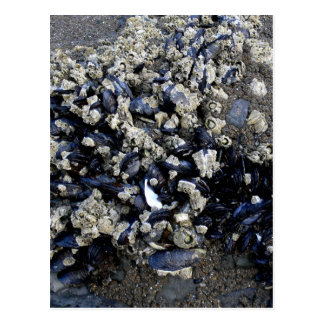 Mussels - Oregon Coast Tidepool Postcard
