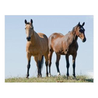 Mustang Horse Pair Postcard