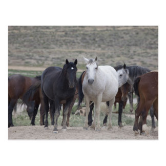 Mustangs of Utah Postcard