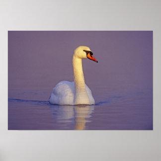 Mute Swan, Cygnus olor,male, Unterlunkhofen, Poster