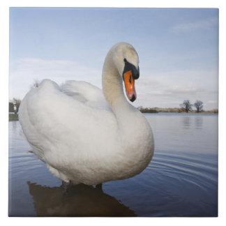 Mute Swan (Cygnus olor) on flooded field, Tile