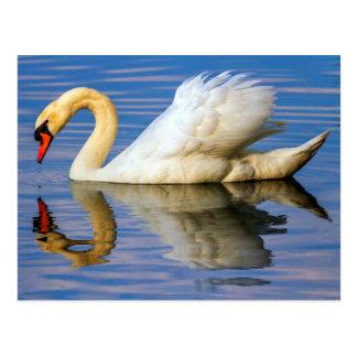 Mute swan, cygnus olor postcard