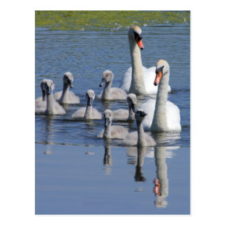 Mute Swan Family Postcard