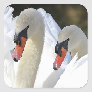 Mute swan pair square sticker