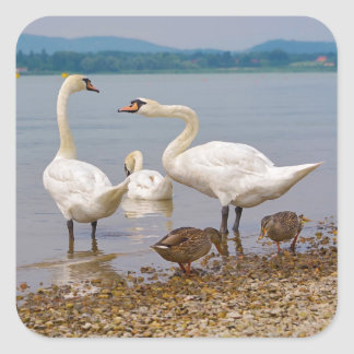 Mute swans and ducks square sticker