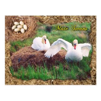 Mute swans guarding nest, Maryland Postcard