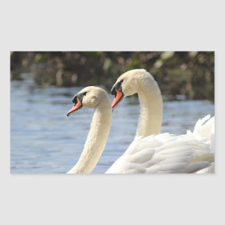 Mute swans swimming sticker