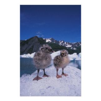 muw gull chicks, Larus canus, on an iceberg at Photographic Print