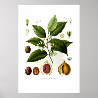 Myristica fragrans nutmeg print