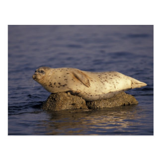N.A., USA, California, Monterey.  Harbor Seal Postcard