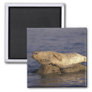 N.A., USA, California, Monterey.  Harbor Seal Square Magnet