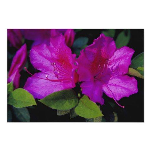 N.A. USA, Georgia, Savannah. Azalea in bloom. Photo Art
