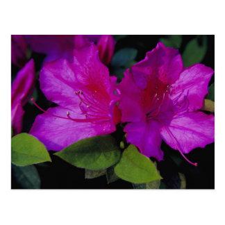 N.A. USA, Georgia, Savannah. Azalea in bloom. Postcard