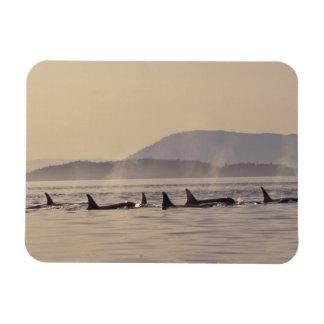 N.A., USA, Washington, San Juan Islands Orca Rectangular Photo Magnet