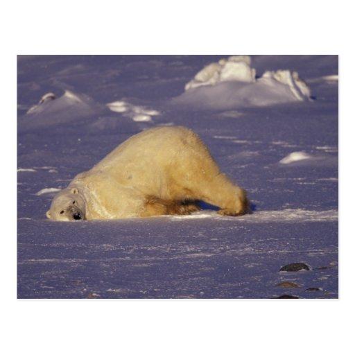 NA, Canada, Manitoba, Churchill, Polar bear Postcard