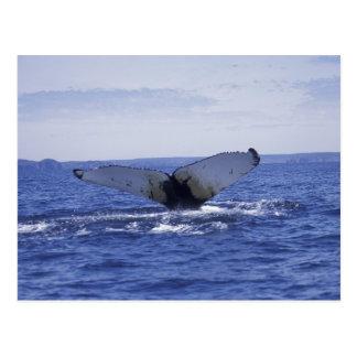 NA, Canada, Newfoundland, Trinity Bay. Humpback Postcard