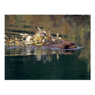 NA, USA, Alaska, Denali NP, Beaver collecting Postcard