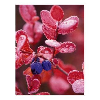 NA, USA, Alaska, Denali NP, Blue berries in Postcard