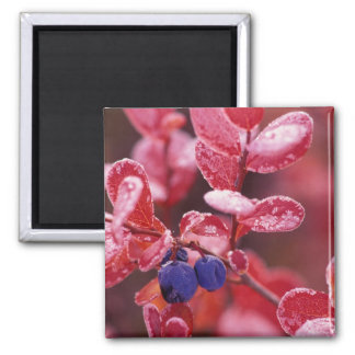 NA, USA, Alaska, Denali NP, Blue berries in Square Magnet