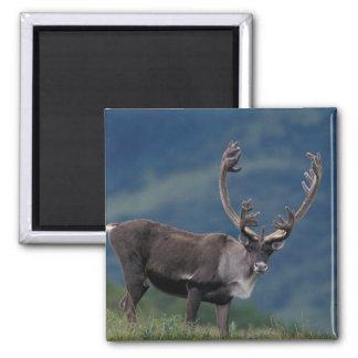 NA, USA, Alaska, Denali NP, Bull caribou 2 Square Magnet