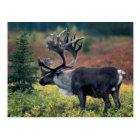 NA, USA, Alaska, Denali NP, Bull caribou 3 Postcard