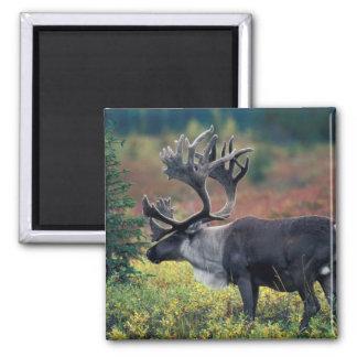NA, USA, Alaska, Denali NP, Bull caribou 3 Square Magnet
