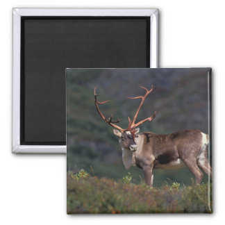 NA, USA, Alaska, Denali NP, Bull caribou Square Magnet