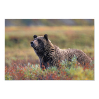 NA, USA, Alaska, Denali NP, Grizzly bear Photo Art