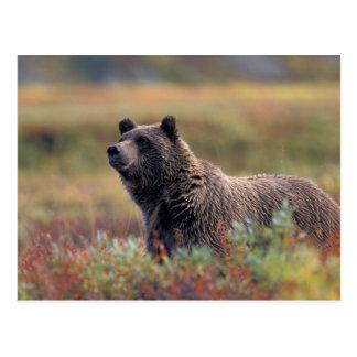 NA, USA, Alaska, Denali NP, Grizzly bear Postcard