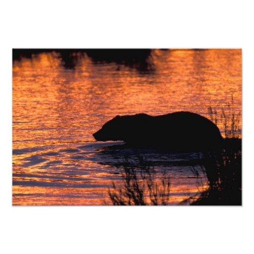 NA, USA, Alaska, Grizzly bear Photograph