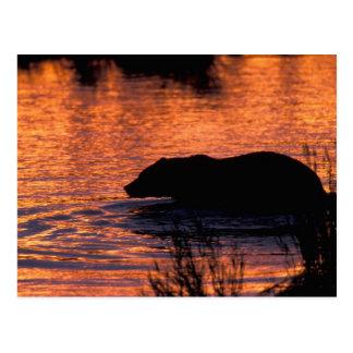 NA, USA, Alaska, Grizzly bear Postcard