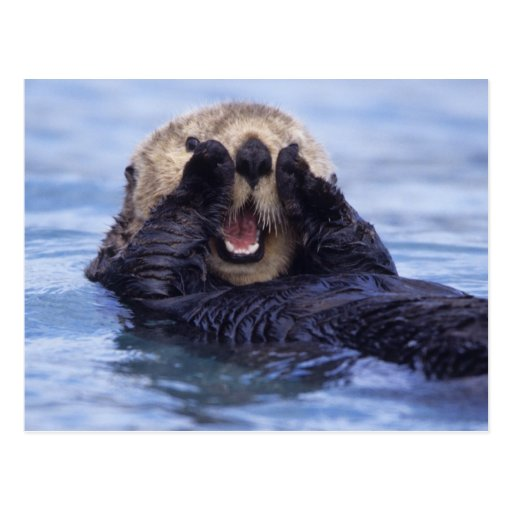 NA, USA, Alaska. Sea otters are the largest Post Card