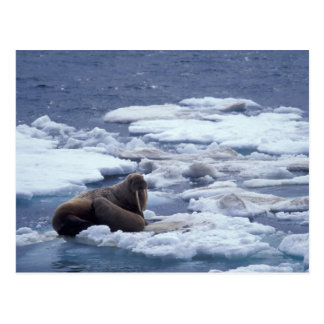 NA, USA, Alaska, Walrus and young on ice in Postcard