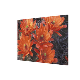 NA, USA, Arizona, San Xavier. Claret Cup cactus Canvas Print